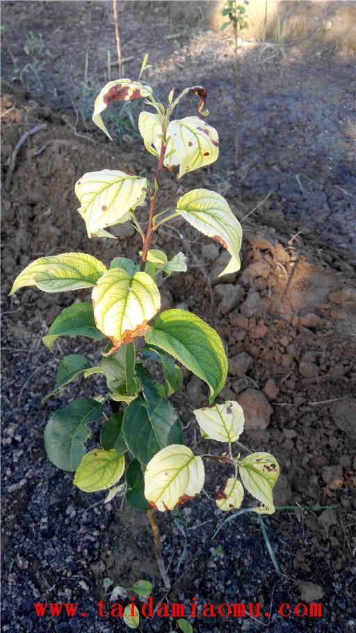 生长期中八棱海棠树叶子发黄,严重时枯死,群众称此为八棱海棠树黄化病。这在我省各地都有不同程度的发生。由于叶片失绿发黄,光合作用能力大大减低,最后八棱海棠树停止生长或枯死,是八棱海棠树生长上的一大障碍。现将八棱海棠树黄化病发生的原因介绍如下: 一、病菌和病原体的侵入。通过病菌、病毒和类菌质体等病原体的 侵入,能使八棱海棠树根部组织和叶片组织遭到破坏,如根腐病、根茎疫病等表现最为普遍和严重,由于其产生的各种分泌物能堵塞输导系统,致使不能吸收水分和养分,光合作用所必需的原料得不到供应,叶片既出现失绿黄化;